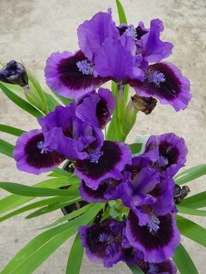 Iris pumila 'Smart' - - Learn how to create a garden with Iris blooms all season long at http://gardendesignforliving.com/?p=1150