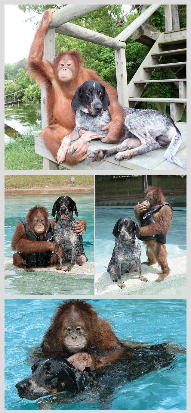 Suryia the Orangutan and Roscoe the Blue Tick Hound | orphaned orangutan finds a friend.