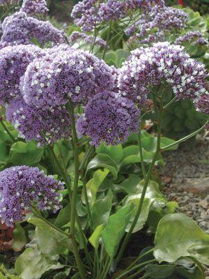 Sea Lavender.