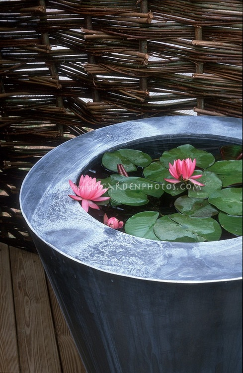 Container Water Garden with Water Lily