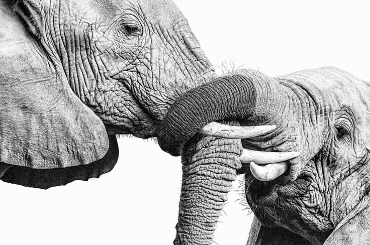 Elephants trunk wrestling in an african wildlife BW photographic print