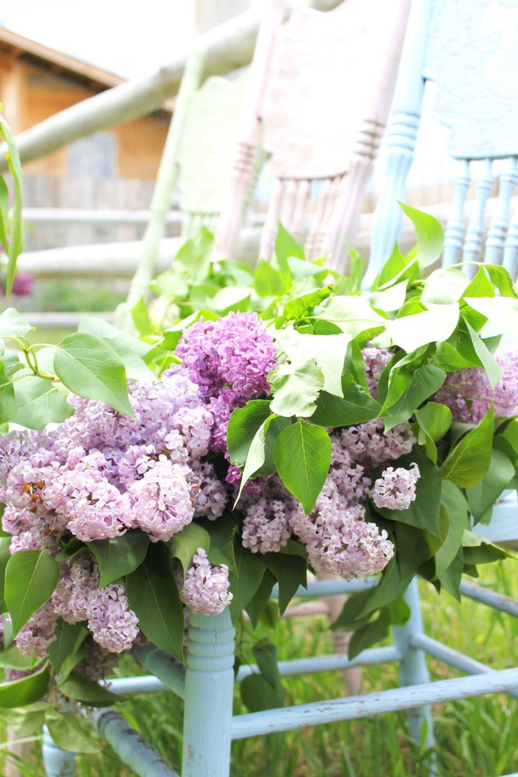 lilacs...reminds me of the midwest - walking home from school and stopping to smell the lilac bushes along the way
