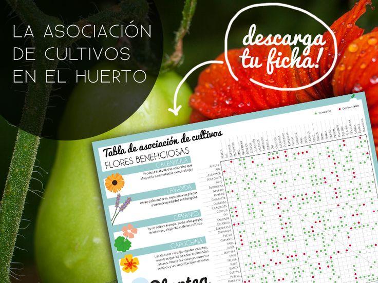 Cómo utilizar la asociación de cultivos en el #huerto. Con ficha descargable!