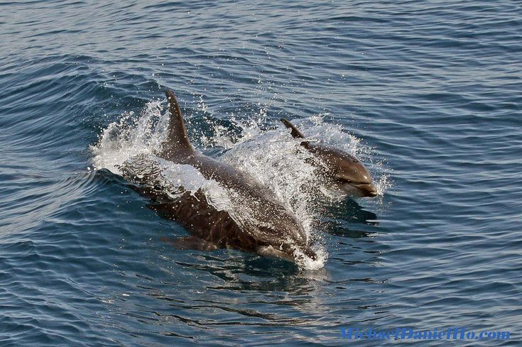 Common Dolphin and Calf surfing in Californian waters