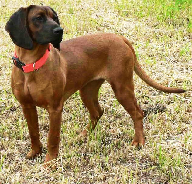 """The Bavarian Mountain Hound (German = """"Bayerischer Gebirgsschweißhund"""") is a breed of dog from Germany. It is a scent hound and has been used in Germany since the Middle Ages to trail wounded game. It is a cross between the Bavarian Hound and the Hanover Hound."""