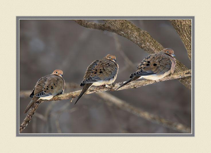 Photograph Dove Trio by Steve Balke on 500px