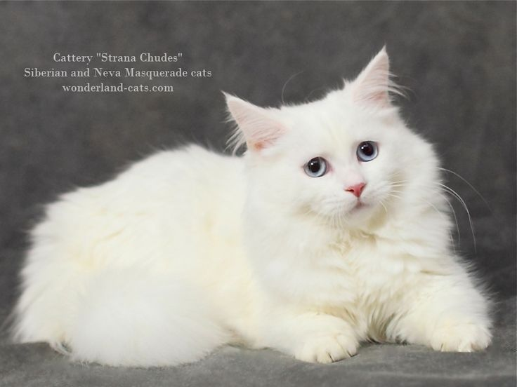 "Russian Siberian beautiful cat white color with blue eyes. In the cattery ""Strana Chudes"" you can choose beautiful hypoallergenic kittens and cats different colors: Neva Masquerade color point cats and traditional Siberian cats for sale. Moscow, Russia. Shipping is possible to other countries. wonderland-cats.com"
