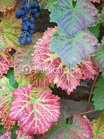 Stock Photo : Vine leaves in autumn and late harvest grapes UK