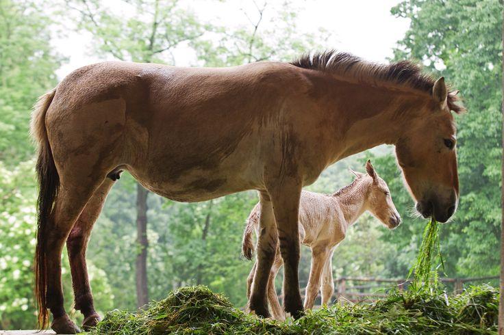 V pražské zoo se narodila hned dvě hříbata koní Převalského! V noci na sobotu se narodil hřebeček. Šlo o 220. hříbě v historii pražského chovu, které porodila klisna Jessica. Radost chovatelů z dalšího vzácného přírůstku se ještě znásobila o pár dní později, když v noci na středu přišla na svět klisnička, potomek klisny Hary. Otcem obou hříbat je slavný hřebec Len pocházející z Askania Nova, v jehož rodokmenu je poslední kůň z volného odchytu.