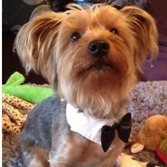 """Pet Collar and Bow Tie. A white cotton shirt collar with attached black bow tie which is great for any special occasion such as """"The Big Day"""", parties and celebrations. A perfect way to allow your pet to join in and stand out in the crowd especially if your pet is a Page Boy at a Wedding."""