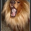 Lion Costume for Dogs - for wally to be the beast