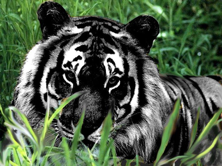 black tiger | Black_Tiger