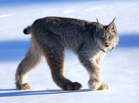 Magnificent Canadian #Lynx just prancing around #IslandPark, Eastern #Idaho. Those paws are HUGE! | Visitidaho.org