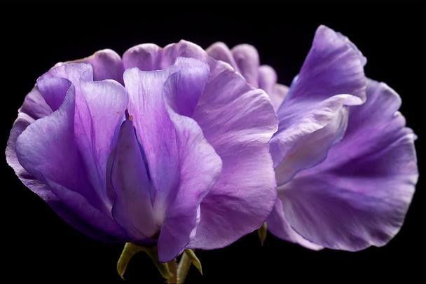 Ervilha-de-cheiro, Ervilha-doce, Ervilheira-de-cheiro – Lathyrus odoratus A ervilha-de-cheiro é uma excelente trepadeira para pequenos suportes, como treliças e até mesmo cercas. Sua altura não ultrapassa os dois metros. Ela é apropriada para esconder momentaneamente entulhos, arbustos caducos e outras estruturas pouco aprazíveis no jardim. A floração ocorre na primavera e verão.