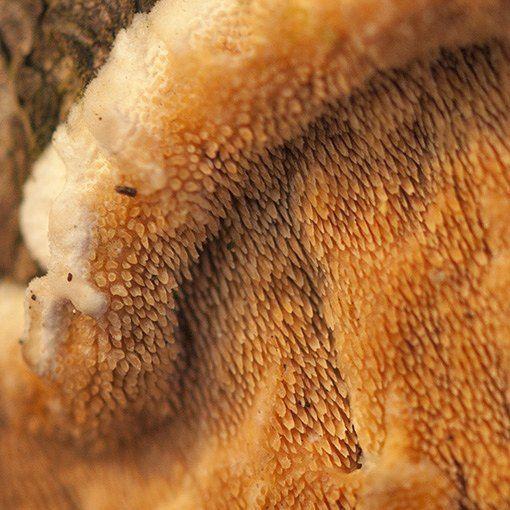 Roze raspzwam - Steccherinum ochraceum #mushroom #mycology #fungi #fungus #paddestoel #paddenstoelen #natuur #macro #netherlands