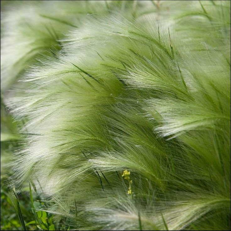 Feather Grass looks so soft.                                                                                                                                                      More