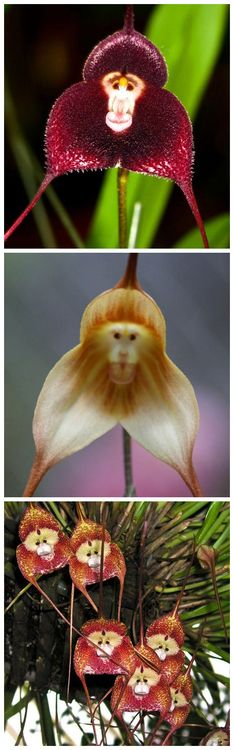 Monkey Orchids. One day I hope to have one of these as the pride of my collection.