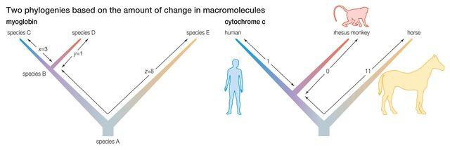 Patterns of Macroevolution: Punctuated Equilibrium