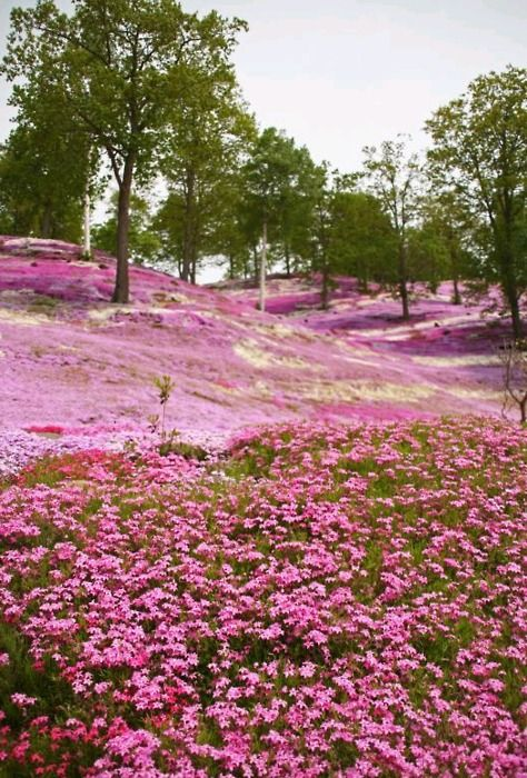 Beautiful#./: Beautiful Natural, Pink Flowers, Hokkaido Japan, Fields Of Flowers, Pink Fields, Parks, Places, Wildflowers Fields, Wild Flowers