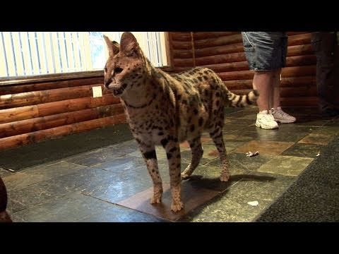 Big Serval Cat's Favorite Toys! - Cute And Funny Serval and Savannah Cat Video - YouTube