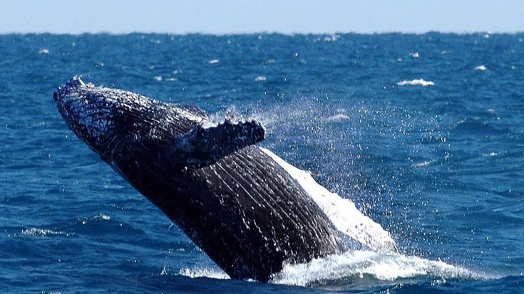 Scientists are now spotting whales from outer space using satellitesA southern humpback whale breaches in Australian waters. Image:  Dave Hunt/EPA/REX/Shutterstock  By Ariel Bogle2017-02-06 05:40:49 UTC  A humpback whale may be a huge creature to the human eye but theyre still tough to spot from space.  Until recently the necessary high-resolution satellite technology wasnt readily available but as the ABC report researchers in Western Australia are beginning to use satellite imagery to…