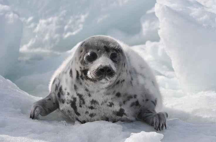 Tuleň leopardí