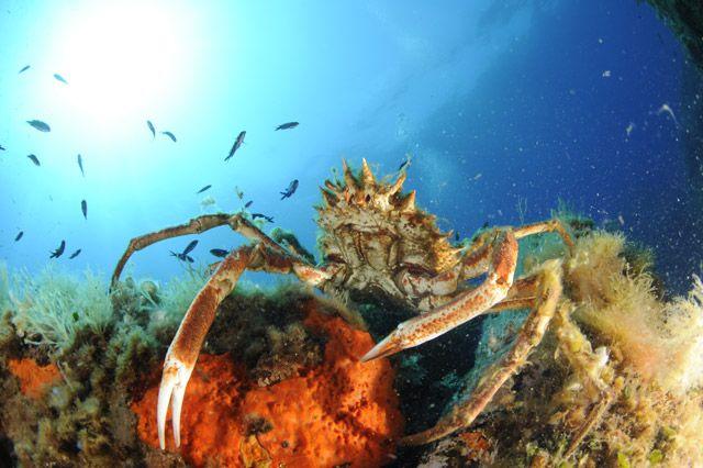 araignée de mer corse