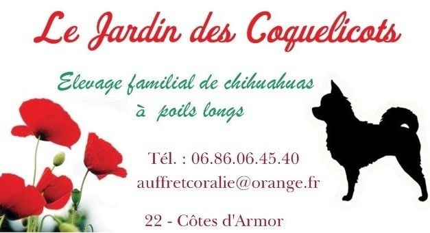 Le Jardin des Coquelicots Elevage de chihuahuas à poils longs http://www.yagoa.fr/chihuahua/