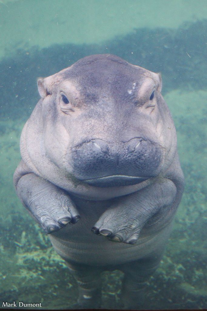 Hippo fiona   The World's Best Photos of animals and hippo – Flickr Hive Mind – Victor Michel