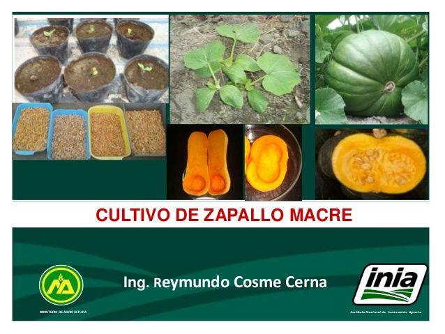 MINISTERIO DE AGRICULTURA Instituto Nacional de Innovación Agraria CULTIVO DE ZAPALLO MACRE Ing. Reymundo Cosme Cerna