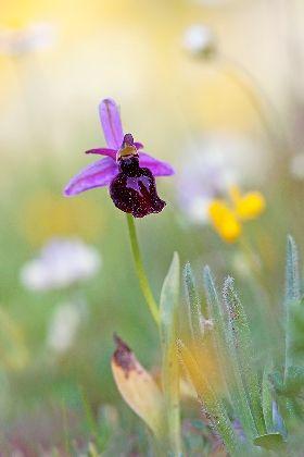 VISIT GREECE  Horseshoe orchid Ophrys ferrum equinum  The wildlife of Greece #wildlife #Greece #nature #greengreece