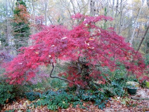 Japanese Maple Red Dragon Japanese Maples Red Dragon Japanese