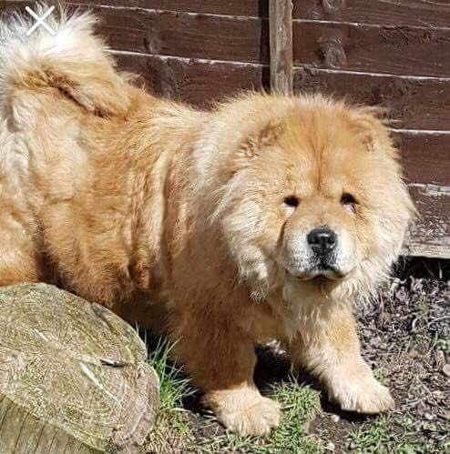 Picking Up A New Rescue Chow Chow Tomorrow So Excited Excited