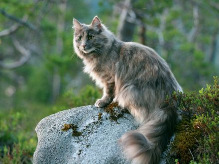 Conheça a Raça Gato Bosque da Noruega