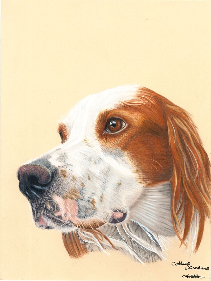 'Jethro' by Cathy Settle. My Red and white Irish Setter, Jethro. Drawn on Stonehenge paper using Faber Castell polychromo pencils. 12x9 inches
