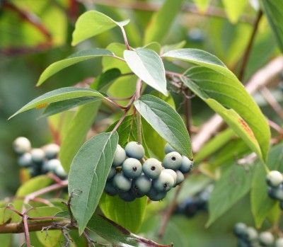 Silky Dogwood Information: Growing Silky Dogwood Shrubs - Also known a swamp dogwood, silky dogwood is a mid-size shrub. In the home landscape, silky dogwood bushes work well in moist, naturalized areas. Click on this article for additional silky dogwood information.