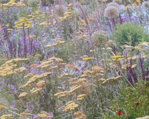 Version von Silbersommer  Achilles 'Coronation Gold' und 'Terracotta', Salvia nemorosa 'Caradonna', Nepeta 'Walker Low',Allium 'Mount Everest und 'Globemaster'