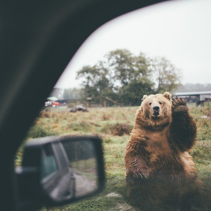Best 25+ Waving bear ideas on Pinterest | Bear animal ... Cute Grizzly Bear Waving