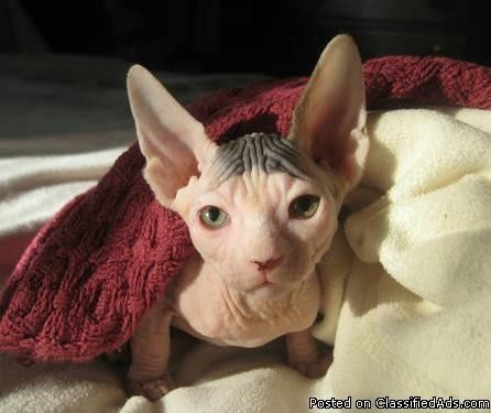 Rescue Sphynx Cats Texas