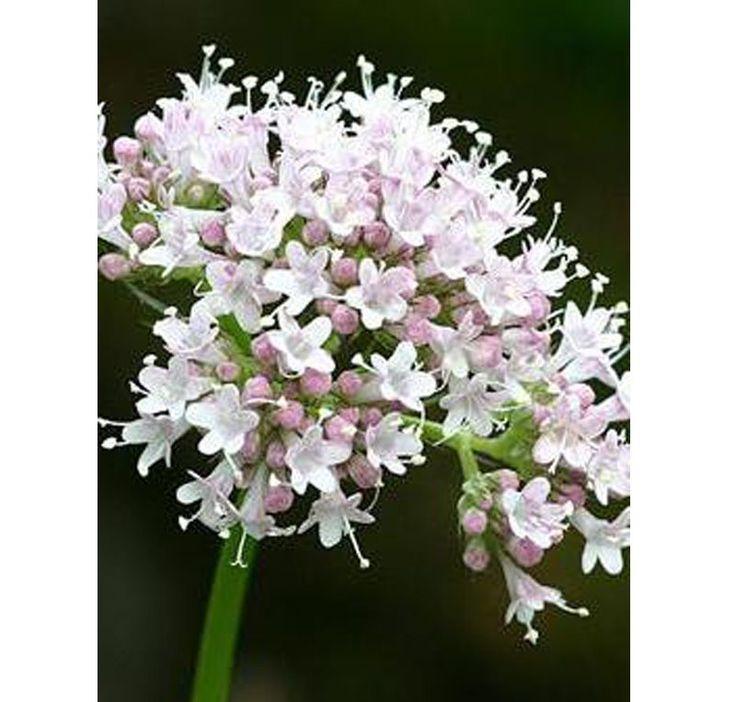 Garden Heliotrope Valeriana Officinalis | Buy Valeriana officinalis online from Jacksons Nurseries