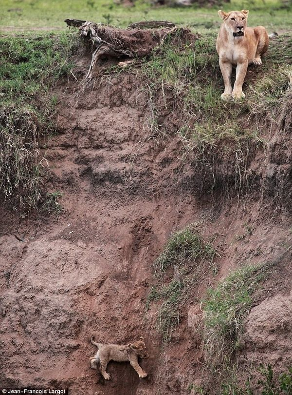 Amazing pictures! Mama saves cub from cliff.