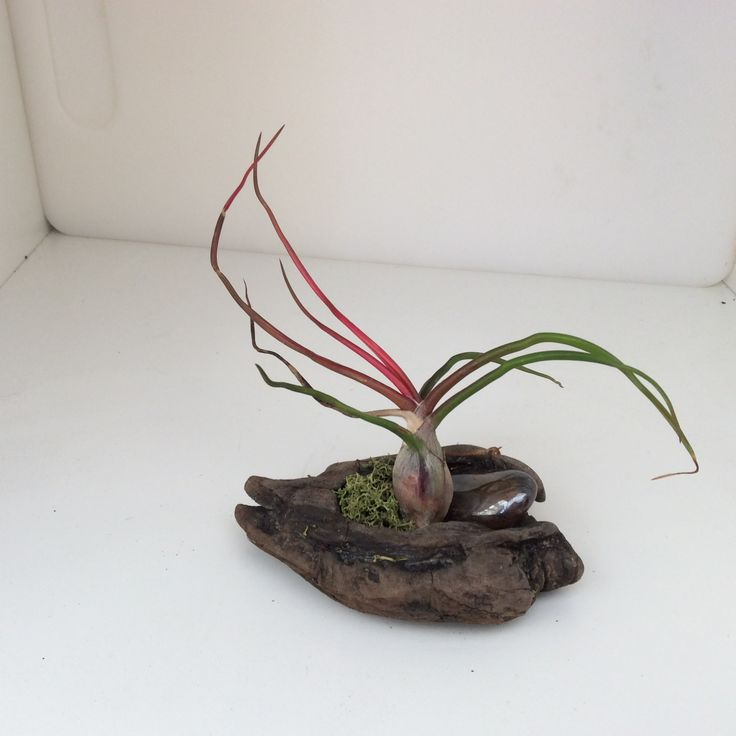 every-picture.com Tillandsia bulbosa on wood.