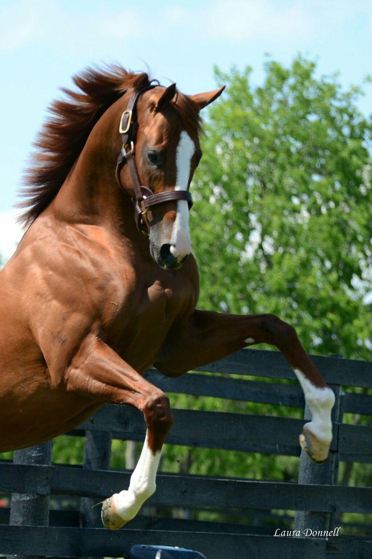 California Chrome, North America's richest racehorse