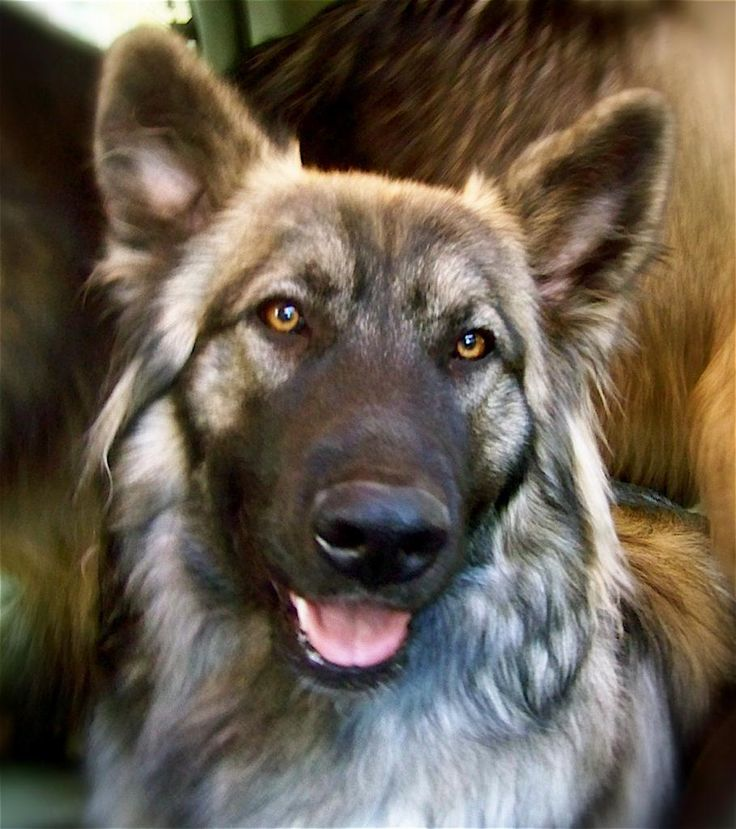 American Alsatian, the faux dire wolf!
