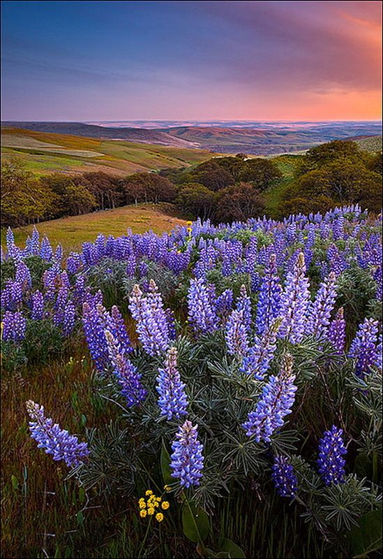 Lupine Perfection