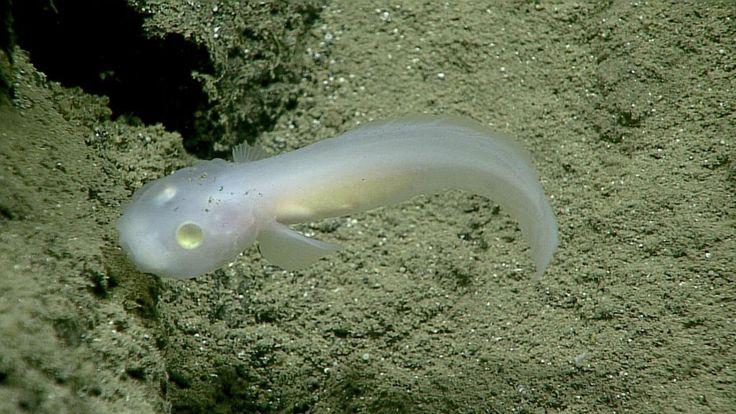 Onderzoekers hebben een nieuwe vis ontdekt.De zogenaamde 'doorkijkvis' meet 10 centimeter en is op een diepte van ongeveer 2,5 kilometer ontdekt in de Grote Oceaan in de Marianentrog, de diepste plek ter wereld.