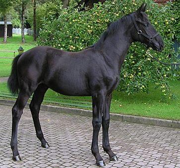 Hannoveraner Hengstfohlen von Dauphin - Donnerhall - Pferde kaufen in Soderstorf - pferde.de