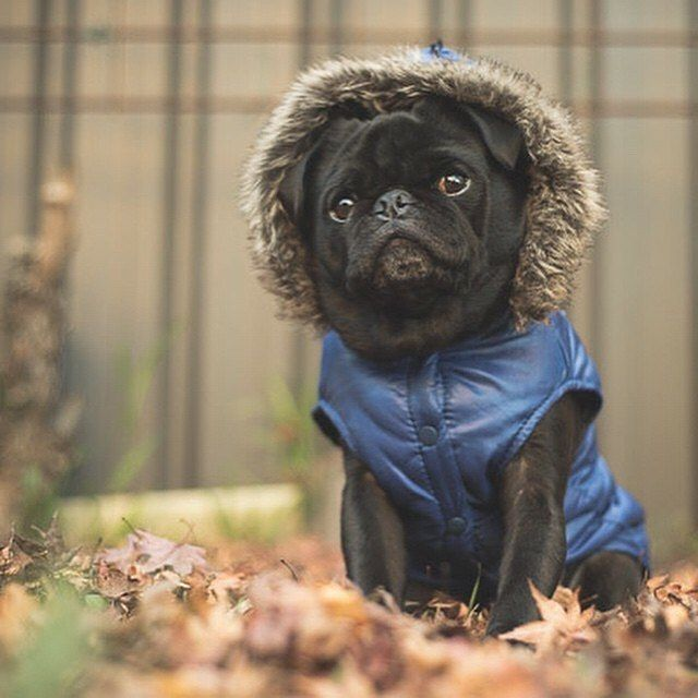 I'm so disappointed that we have no autumn leaves in our backyard this year. I have some great photos of Ref in the leaves from previous years but I won't get to do any in our backyard with Serina. Who else loves pugs in autumn leaves? #thepugdiary