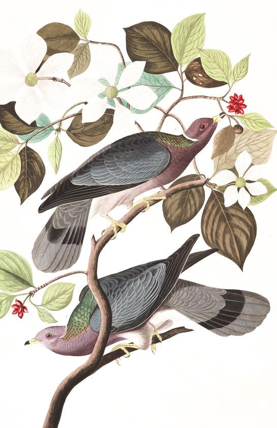 Band-tailed Pigeon | John James Audubon's Birds of America