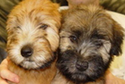 Wheaten terrier puppies